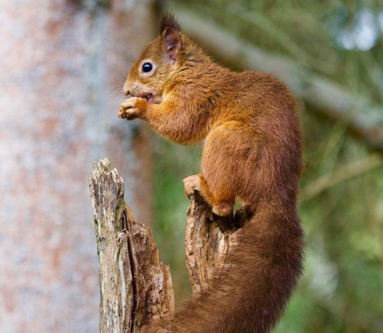 red squirrel lycian way