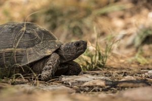tortoise lycian way